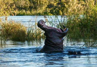 Hippo on Zambezi River