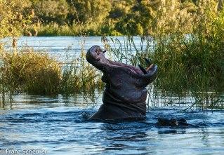 Hippo on Zambezi River