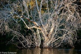 Dead tree - Zambezi River, Zimbabwe