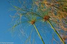 Papyrus - Okavango Delta