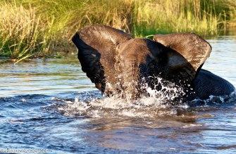 Angry young elephant - Okavango Delta