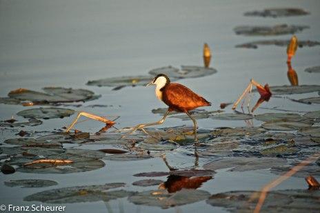 'Jesus Bird' walks on water - one of the wonders of the Okavango Delta