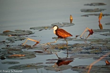 'Jesus Bird' walks on water - one of the wonders of the Okavango Delta